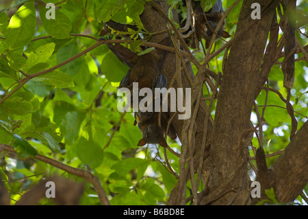 Black Flying fox (Pteropus alecto) adults roosting during daytime in tree East Alligator Region Kakadu National - Stock Photo