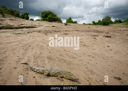 Africa Botswana Chobe National Park Young Nile Crocodile Crocodylus niloticus resting on sandy banks of Chobe River - Stock Photo