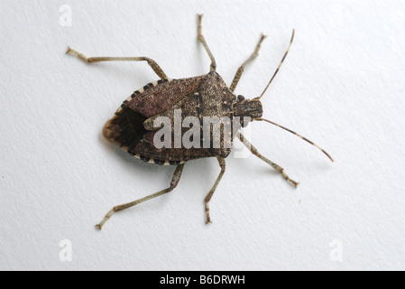 Brown Marmorated Stink Bug on white background. - Stock Photo