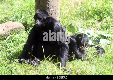 Colombian Black Faced Spider Monkey [Chester Zoo, Chester, Cheshire, England, Great Britain, United Kingdom, Europe]. - Stock Photo