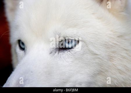 Northern Husky mix with blue eyes, close-up - Stock Photo