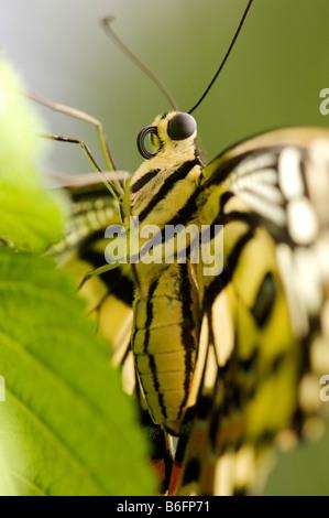 American Painted Lady (Vanessa virginiensis), Papiliorama, Kerzers, Switzerland, Europe - Stock Photo