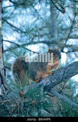Eastern Fox Squirrel (Sciurus niger) on Ponderosa pine tree in winter, Colorado US - Stock Photo