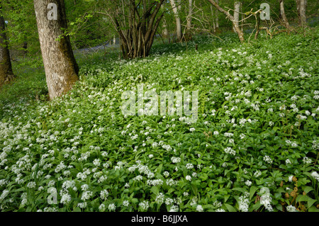 Ramsons or Wild garlic, allium ursinum, Fleet Valley, Dumfries & Galloway, Scotland - Stock Photo