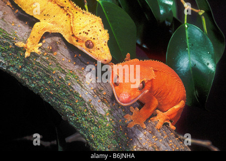 New Caledonia Crested Geckos, Rhacodactylus ciliatus, Native to New Caledonia - Stock Photo