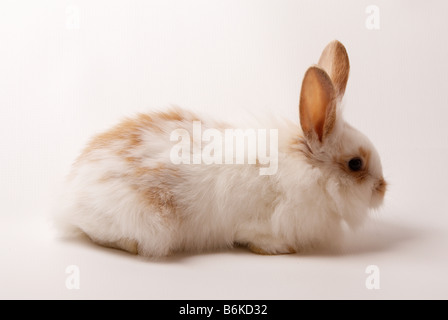 young lionhead rabbit white and brown on a white back drop - Stock Photo