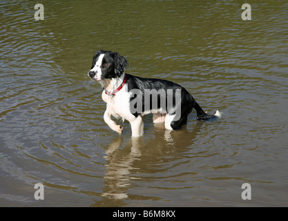 Molly the Border Collie cross dog playing in the water - Stock Photo