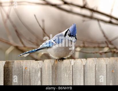 A Bluejay Cyanocitta, cristata perches, on a cedar fence during the winter. Oklahoma, USA. - Stock Photo