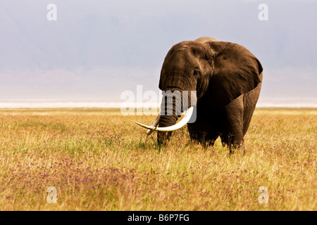 A lone elephant with crossed tusks in the Ngorongoro crater - Stock Photo