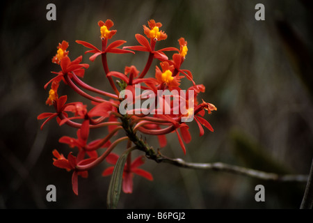 Epidendrum secundum or Wiñay Wayna orchid (red form ), Inca Trail, Peru - Stock Photo