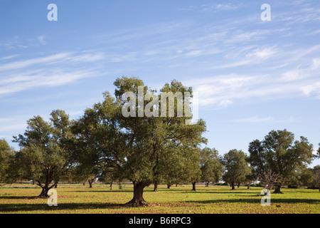 Morocco. Argan trees Argania spinosa endemic species growing in arganeraie forests in UNESCO biosphere reserve - Stock Photo