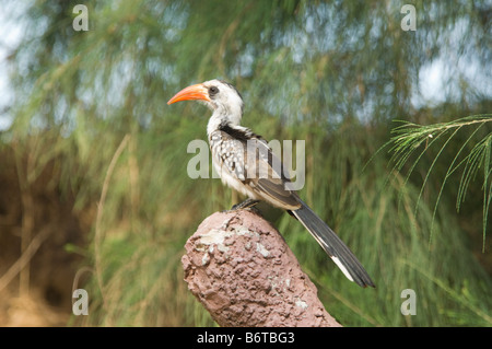 Red billed Hornbill Tockus erythrorhynchus WILD - Stock Photo
