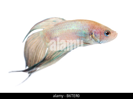 Siamese fighting fish Betta Splendens in front of a white background - Stock Photo