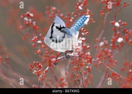 Blue Jay Perched in Multiflora Rose Berries - Stock Photo