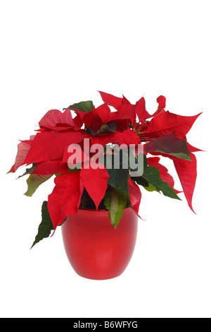 Poinsettia plant cut out isolated on white background - Stock Photo
