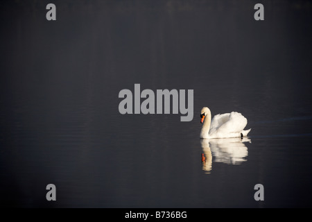 single mute swan cygnus olor swimming on a lake in county down Northern Ireland UK - Stock Photo