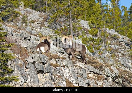 Two Stone's sheep rams on a ridge. - Stock Photo