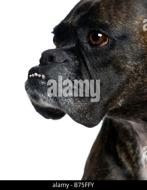 close up on a Boxer s head 9 years in front of a white background - Stock Photo