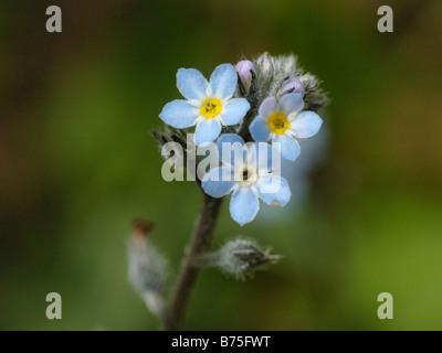 Field Forget me not, myosotis arvensis - Stock Photo