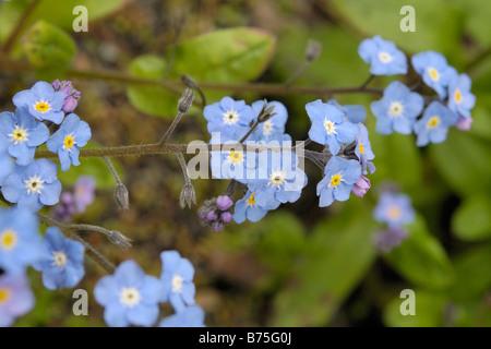 Wood Forget-me-not, myosotis sylvatica - Stock Photo