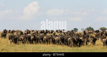 Wildebeest grazing on the plains of the Masai Mara with Zebra in Kenya - Stock Photo