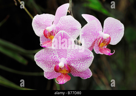 Orchid (Phalaenopsis spec.) - Stock Photo