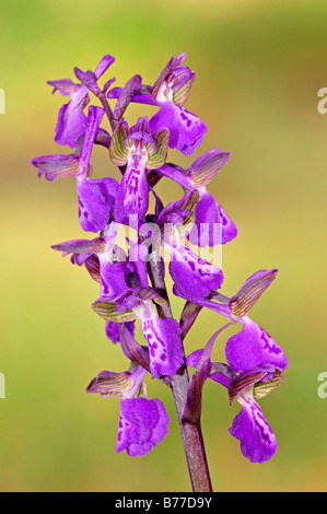Green-winged Orchid or Green-veined Orchid (Orchis morio), Provence, Southern France, France, Europe - Stock Photo