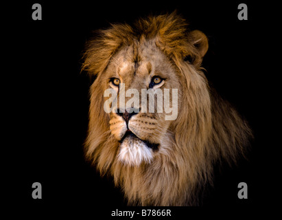 portrait of a big african male lion - Stock Photo