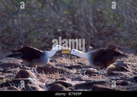 Waved Albatross pair (Diomedea irrorata) courtship dance, Insel Espanola, Galapagos Inseln, Galapagos Islands, Ecuador, - Stock Photo