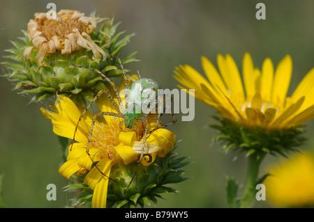 Green Lynx Spider waiting for prey on a Saw Leaf Daisy - Stock Photo