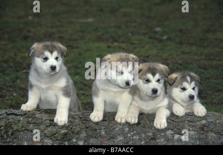 Alaskan Malamute puppies, 5 weeks old - Stock Photo
