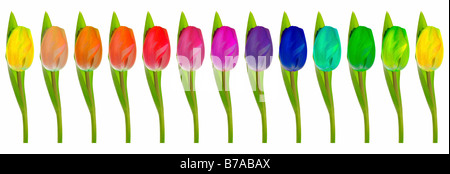 Row of rainbow-coloured Tulips on white - Stock Photo
