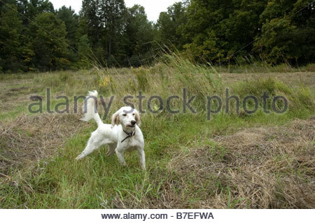 English setter, hunting dog, on point, canine, working dog, sporting dog, small game - Stock Photo