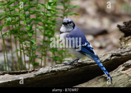 Blue Jay cyanocitta cristata bromia perched on log - Stock Photo