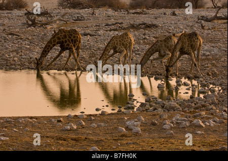 four giraffes drinking from waterhole in late evening - Stock Photo