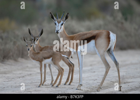 Springbok ewe with lamb in the Karoo, South Africa. Near Calitzdorp hot water spa, not far from Oudtshoorn, famous - Stock Photo