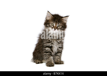 Tabby kitten sitting on white background - Stock Photo