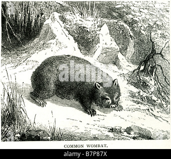 Common wombat Vombatus ursinus Coarse-haired Wombat foraging Wildlife nature animal wild Outdoor - Stock Photo