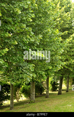 Tilia Common Lime trees  - Stock Photo