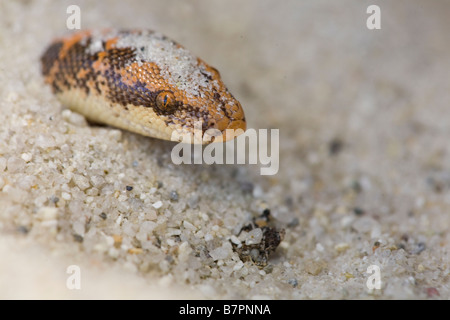 A captive Kenyan Sand Boa, Gongylophis colubrinus, hides in a sand bed in Montecito, California, United States of - Stock Photo