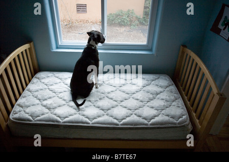 dog sitting on mattress alone, looking out the window - Stock Photo