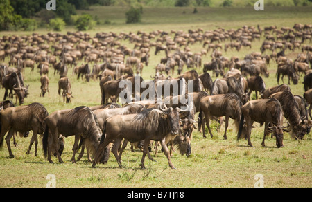 Wildebeest grazing on the plains of the Masai Mara - Stock Photo