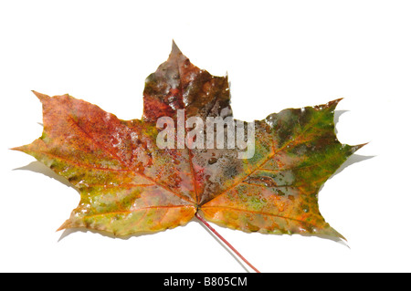 Multi coloured maple leaves isolate on white backgroung - Stock Photo