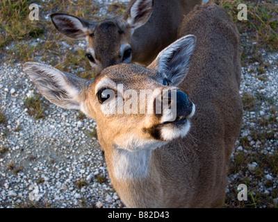 Endangered Key Deer, National Key Deer Refuge, Florida Keys, Florida - Stock Photo