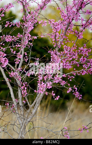 The Eastern redbud tree, Cercis canadensis, in bloom. Oklahoma, USA. - Stock Photo
