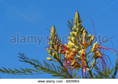 Caesalpinia gilliesii - Caesalpiniaceae | Bird of Paradise Bush | Césalpinie de Gilles - Stock Photo