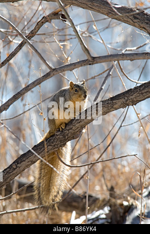 Eastern Fox Squirrel (Sciurus niger) in winter, Lakewood Colorado US - Stock Photo