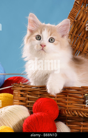 Siberian forest cat - kitten in basket - Stock Photo