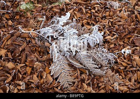 Bracken covered in frost on dead leaves UK - Stock Photo