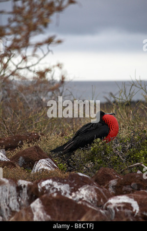 male Great frigatebird, Fregata minor ridgwayi, frigate bird with pouch inflated as part of courtship ritual - North - Stock Photo